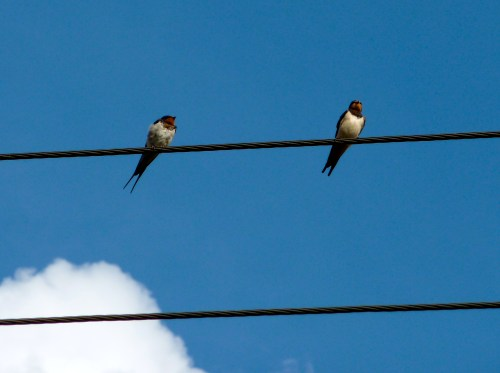 Birds on a wire, Stockfields, Hints, Staffordshire, 4:48pm Saturday 22nd August 2009