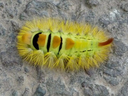 Pale tussock moth caterpillar in the road at Hoar Cross, 2:54pm, Sunday 27th September 2009