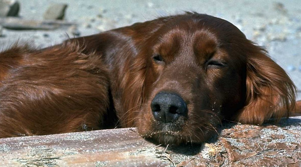 A red dog snoozing in the sun