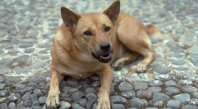 A mixed breed dog lying on cobblestones, showing teeth