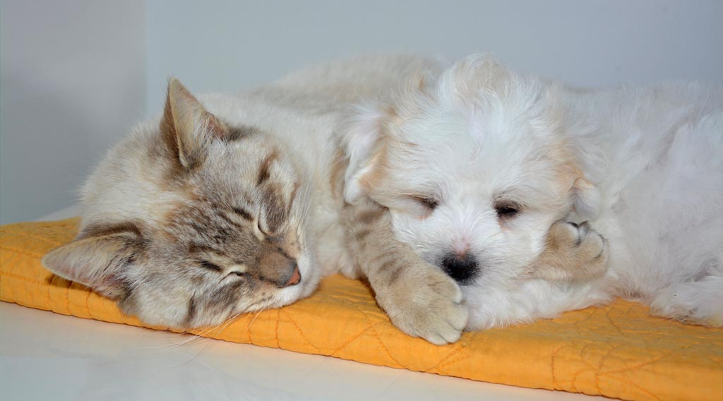 Cat sleeping next to puppy