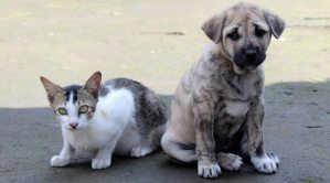 Crouching kitten next to seated brindle puppy