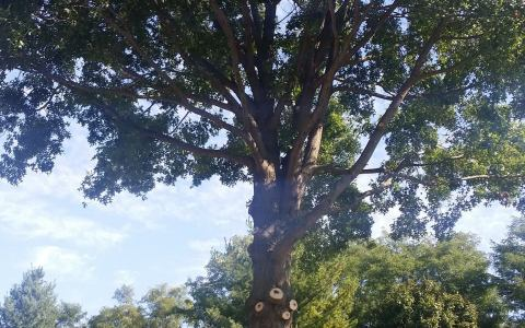 Tree Pruning Springfield IL 10 | Brown Storm Service