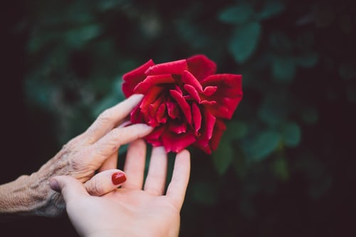 old and young hand with rose