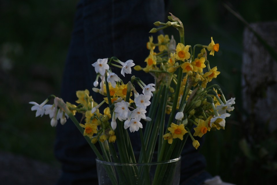 jonquils from garden in vase
