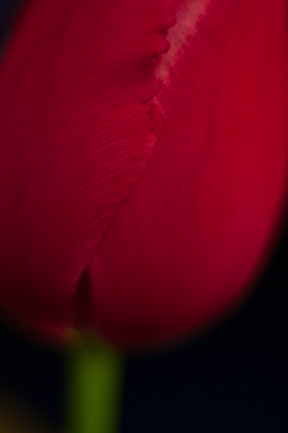 close up of a red tulip