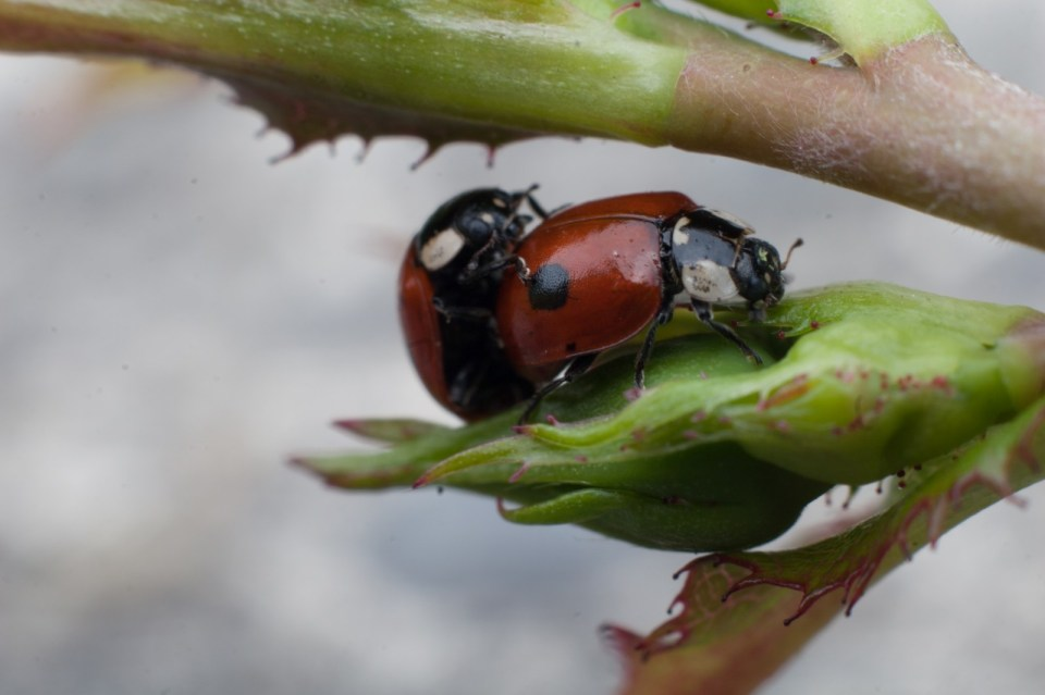 two ladybugs doing their business