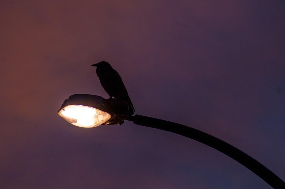 crow sitting on street lamp