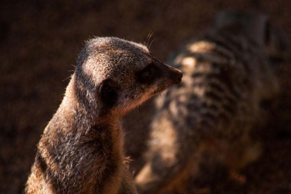 meercats at perth zoo