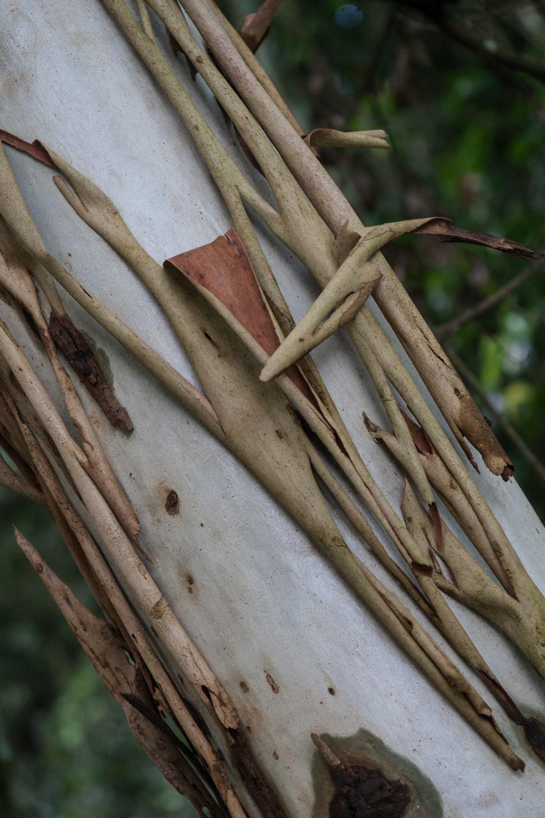 tree bark peeling