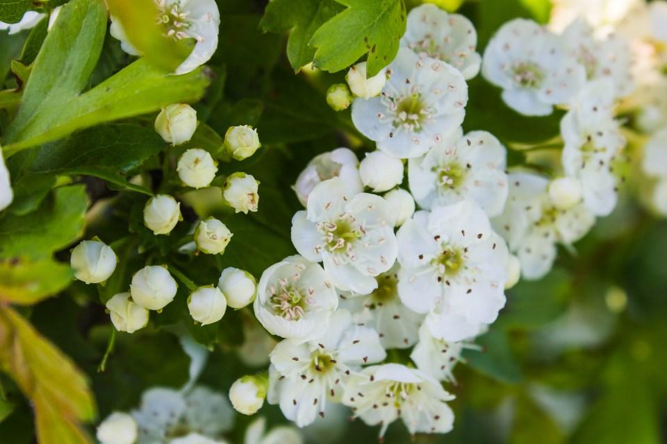 white blossom flowers spring