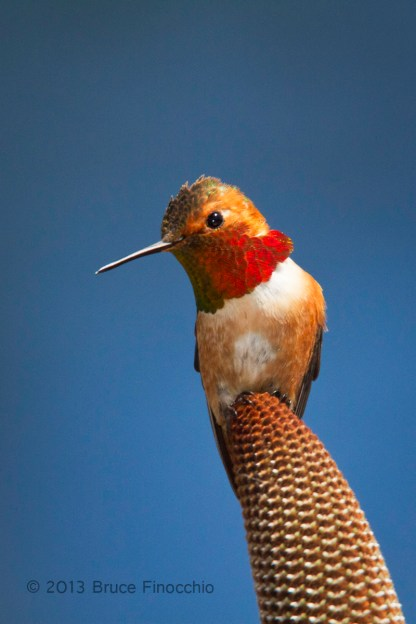 Beauty In The Eye Of A Male Allen's Hummingbird