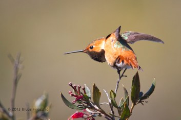 Male Allen's Hummingbird Does A Wing Stretch