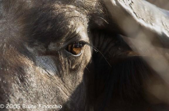 Into A Cape Buffalo's Eye