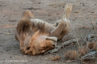 Male Lion Rolls On His Back While Sleeping