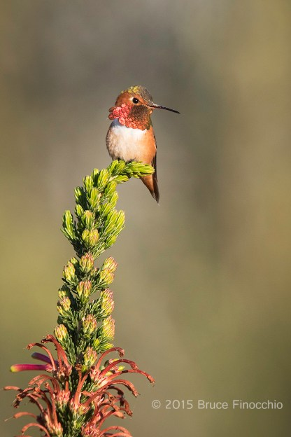 Male Allen's Hummingbird Perched On End Of A Cape Heath Bud