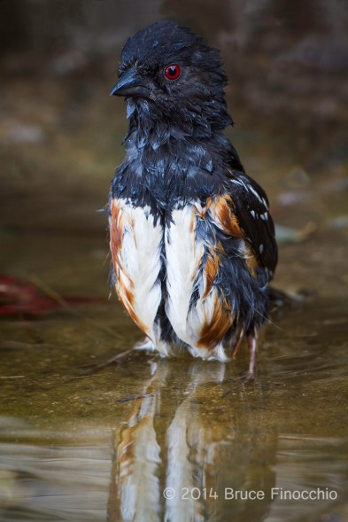 Male Spotted Towhee Alertly Stands Tall While Bathing