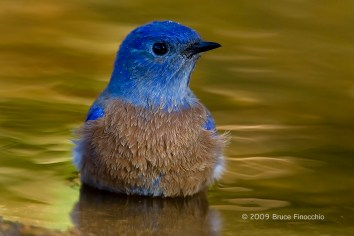 Male Bluebird Bathes In A Golden Pond