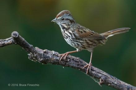 An Alert Song Sparrow On Perch