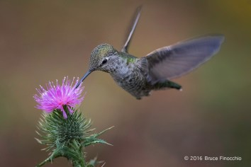 Female Anna's Hummingbird Sipping Nectar From A Purplish Pink Thistle Blossom