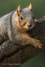 Fox Squirrel Peers Over A Tree Trunk