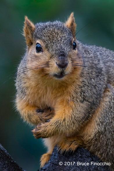 Fox Squirrel Stare Down Expression