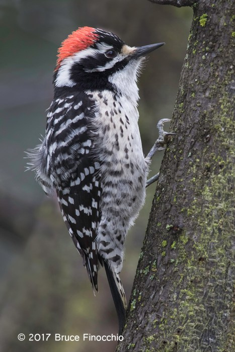 Male Nuttall's Woodpecker Ruffles Feathers Perched On A Tree Trunk