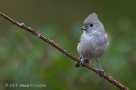Oak Titmouse With Crest Raised While Perched On A Redwood Twig