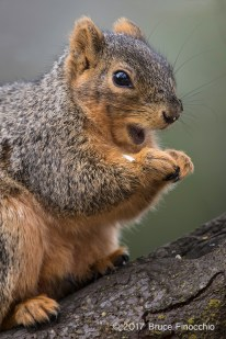 Opened Mouth Of A Fox Squirrel As It Eats Seeds While Perched On A Branch