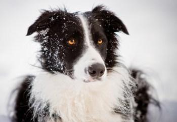border collie winter
