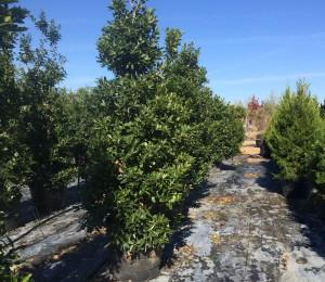 Bruce Miller Nursery Trees