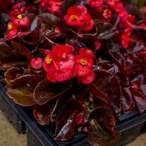 Begonia Red Leaf