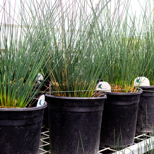 Blue Dart Grass