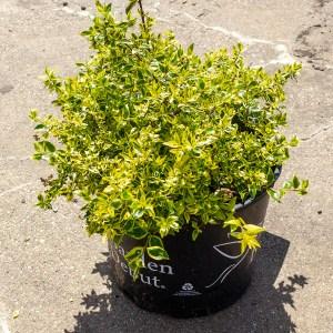Varigated Abelia