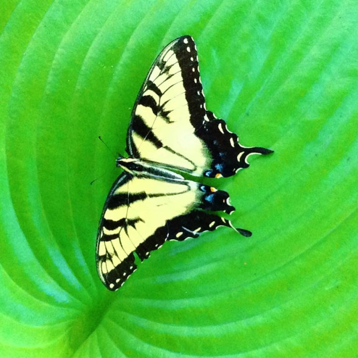Eastern Tiger Swallowtail - male (Papilio glaucus)
