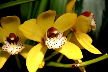 Cymbidium Red Back 'Solid Gold'