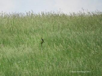 Bobolink, meadow