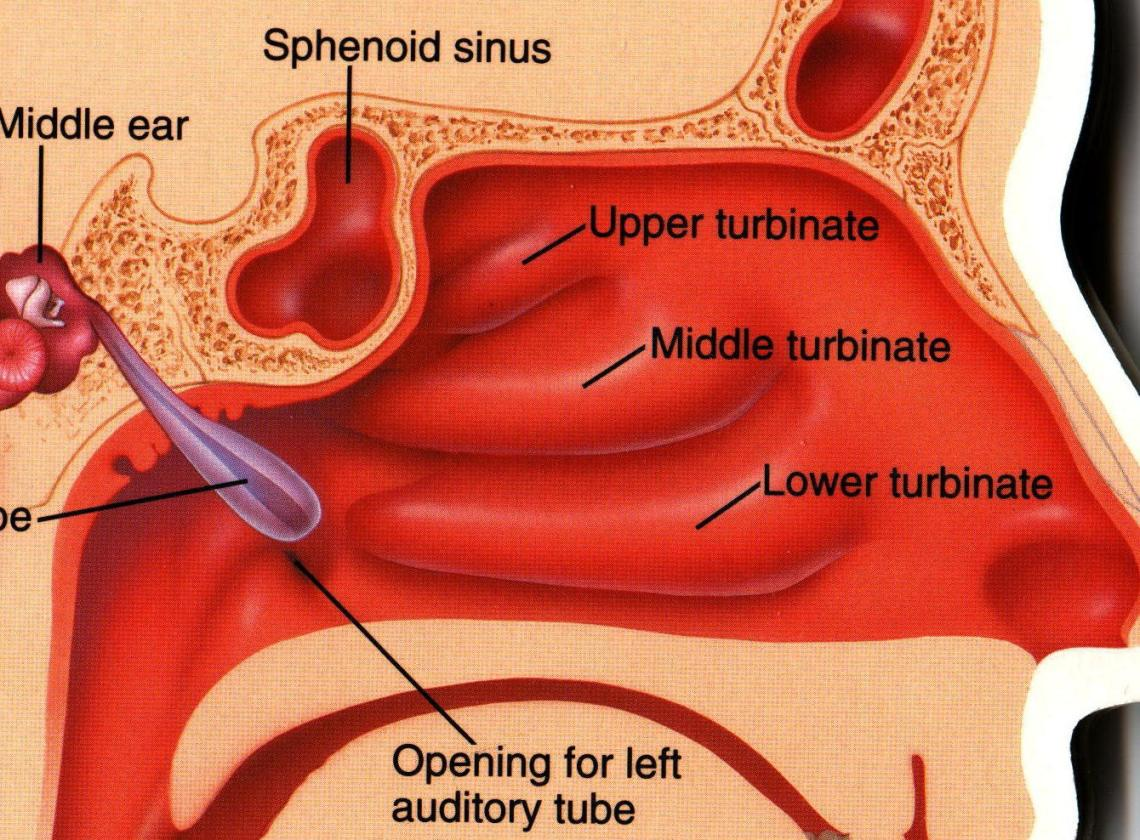 Eustachian Tube opens into the side of the nose
