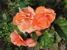 Begonia_Nonstop_apricot-yel