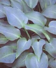 Hosta Blue Arrow