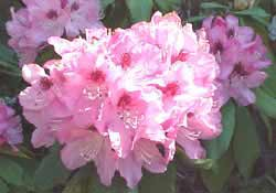 Pink_Rhododendron