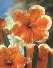Orangery_narcissus