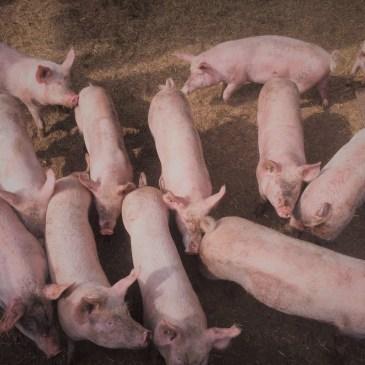 Kalbs- und Schweinefleisch jetzt verfügbar