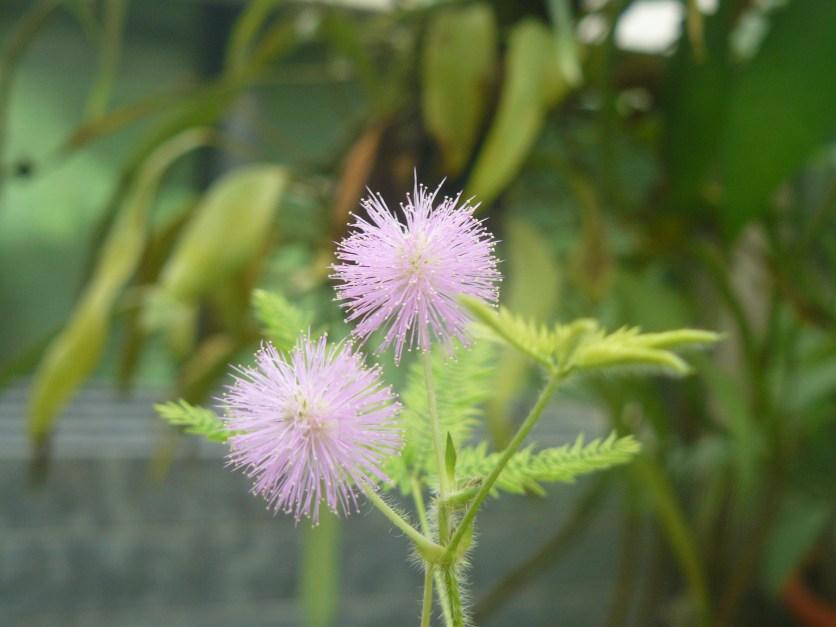 Mimosenblüten