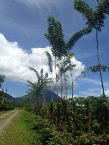 Neem trees growing in La Fortuna, Costa Rica