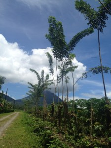 Neem trees growing in La Fortuna, Costa Rica