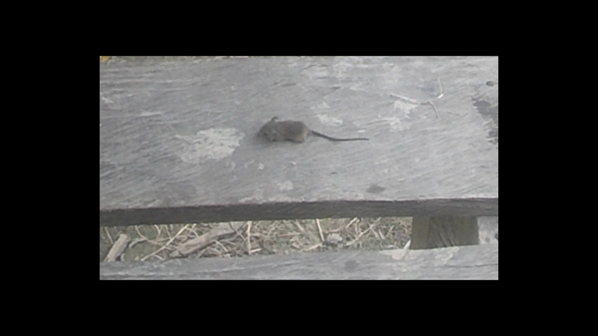 Dead Mouse in the Amazon Rainforest
