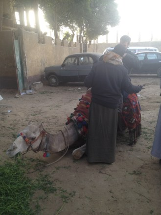 Nazlet Al Sammam Cairo Egypt Camels