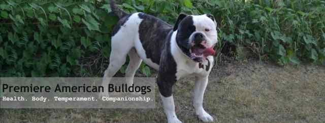 american bulldog puppies for sale | bruiser bulldogs