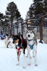 o que fazer em kiruna - passeio de trenó com huskies